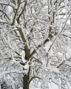 Hoare Frost & Snow Branches