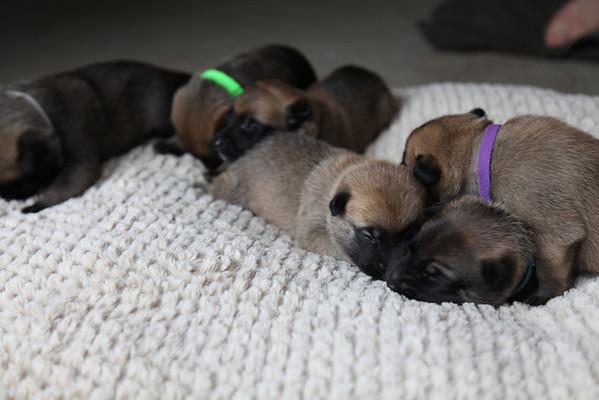Orage / Nyx puppies
