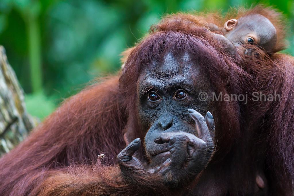 Sumatran Orang Utan baby with mother