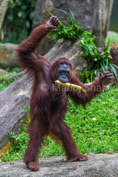 Sumatran Orangutan happy with sugarcane.