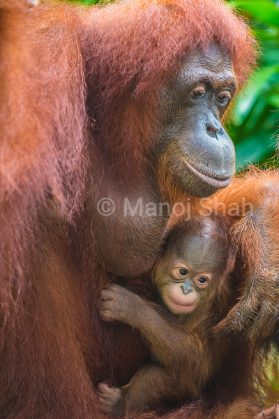 Sumatran orangutan mother and baby