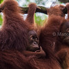 Bornean Orangutan youngsters