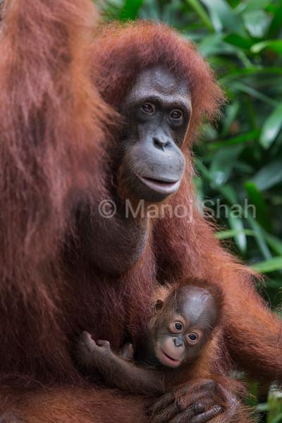 Bornean Orangutan baby with mother