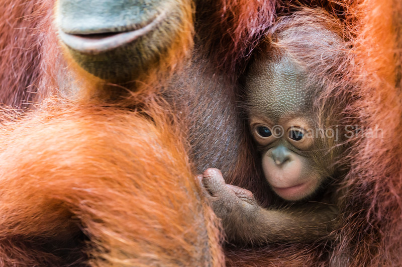 Bornean orangutan baby clinging to mother's belly -  Malaysia