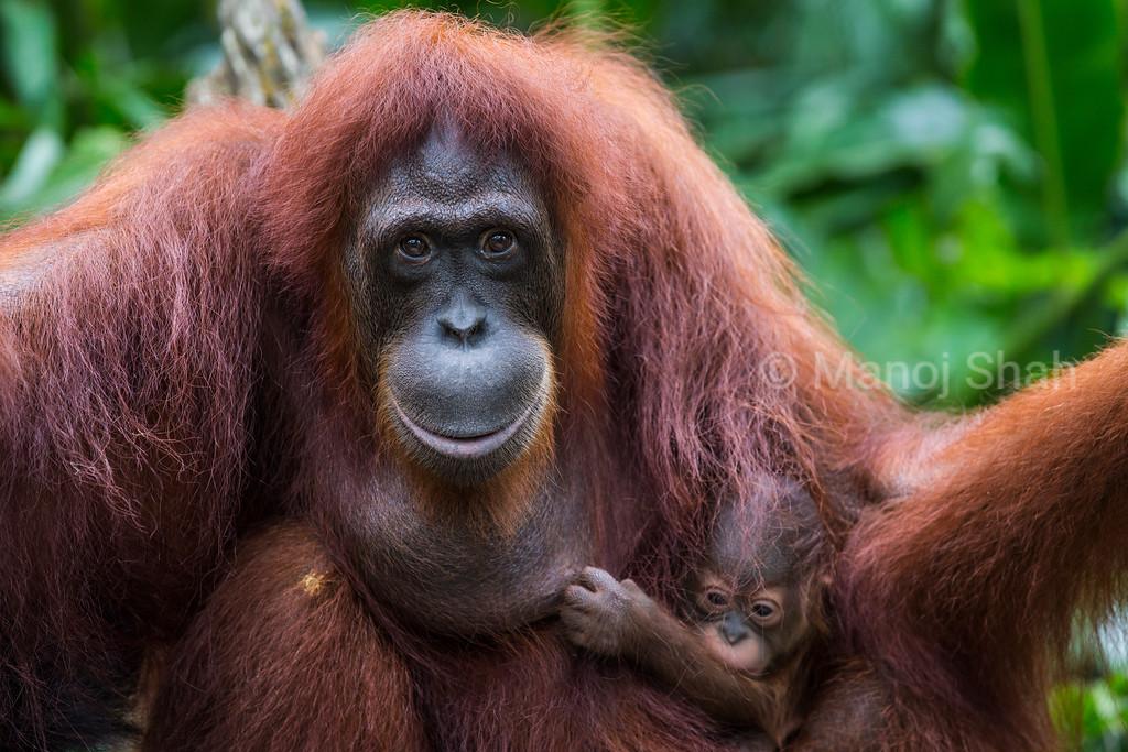 Bornean Orangutan mother with Baby