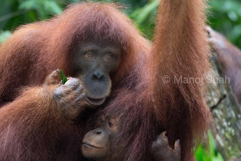 Bornean orangutan female with baby - Malaysia