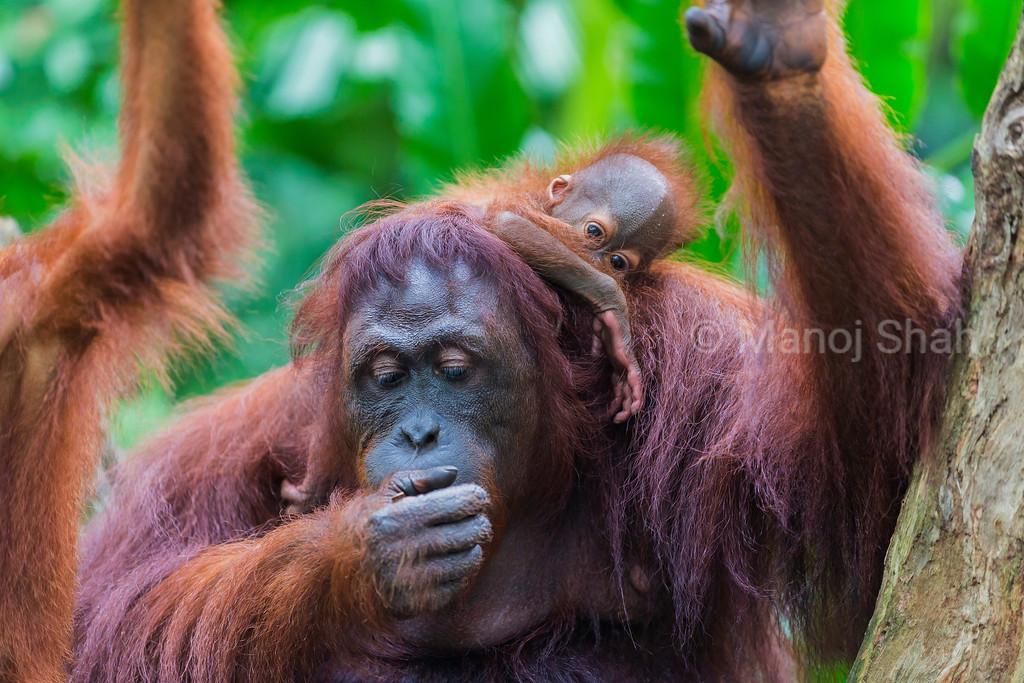 Sumatran Orang Utan with baby