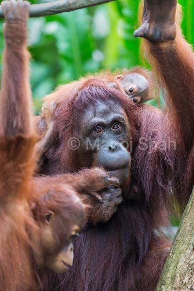 Sumatran Orang Utan babies with mother