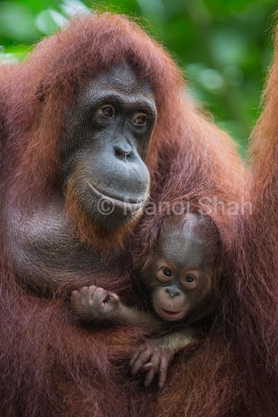 Bornean Orangutan with baby