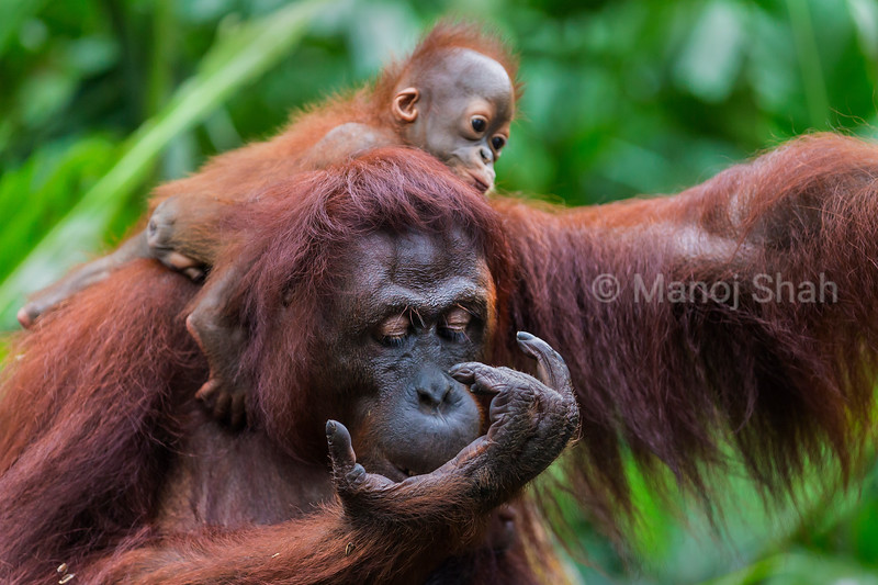Sumatran Orang Utan baby with mother
