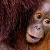 Sumatran Orang youngster- clinging to mother's belly- Indonesia