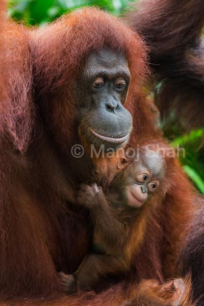 Sumatran Orang Utan baby with mother.