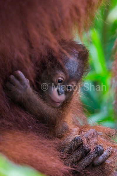 Sumatran Orang Utan baby with mother.