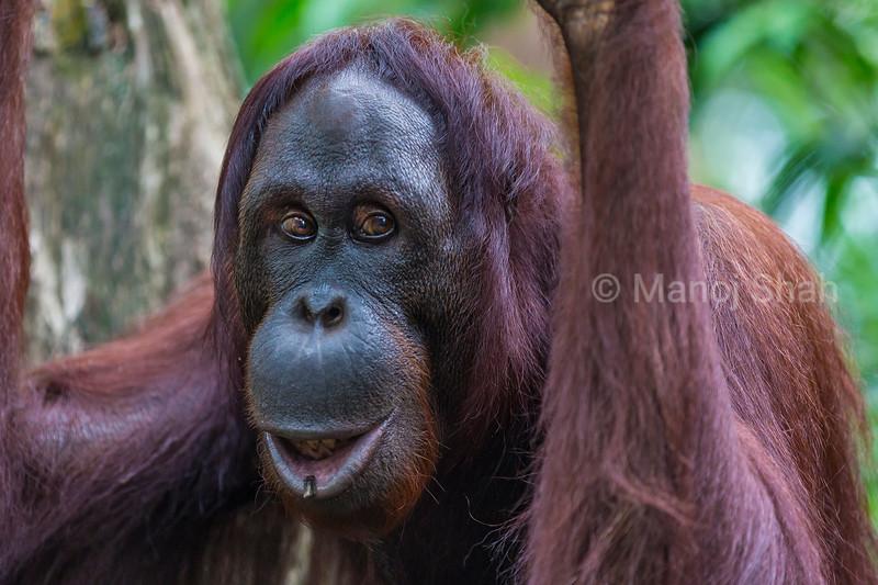 Sumatran Orangutan showing happiness.
