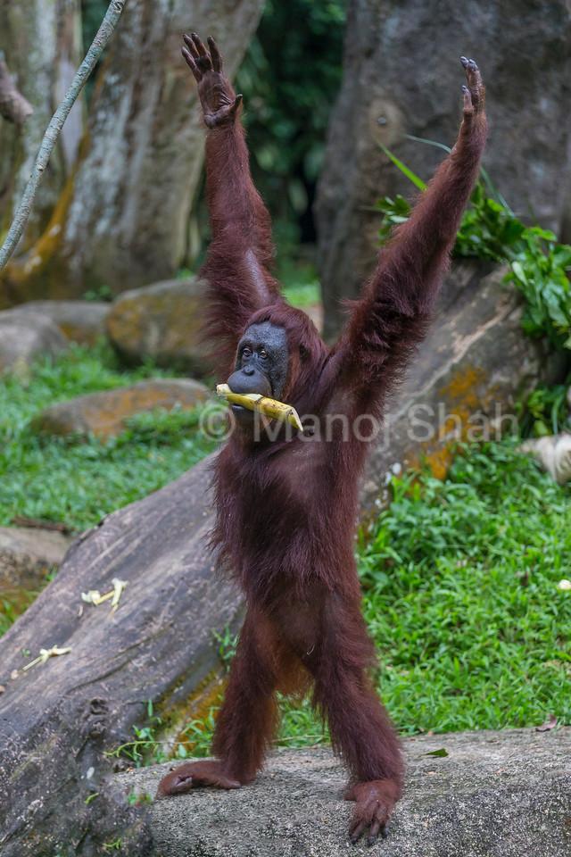 Sumatran Orangutan happy with sugarcane.