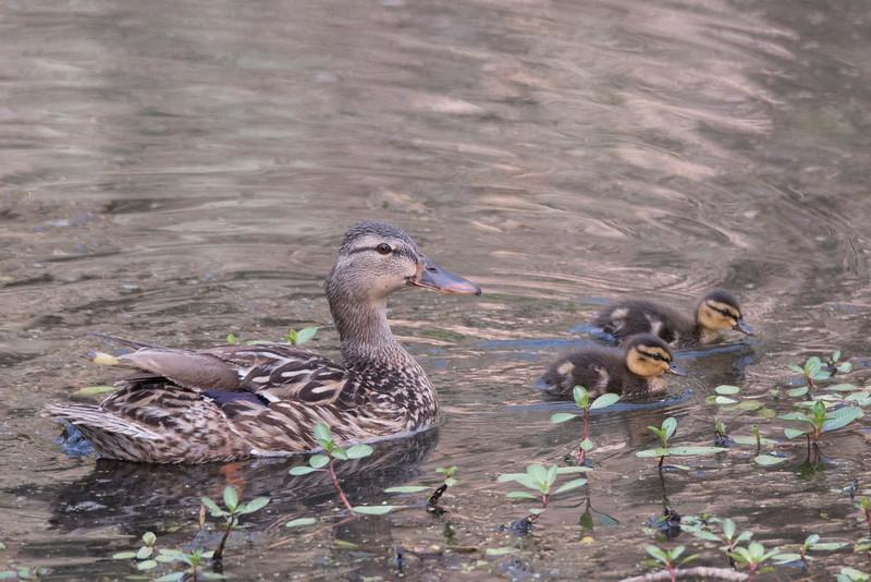 Mallard Duck sheparding her two ducklings through the shallows of Talbert Lake