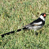 Male Pin-tailed Whydah foraging on the lawn.
