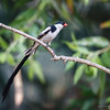 PIN-TAILED WHYDAH<br /> Male courting female.<br /> Huntington Beach Central Park.