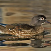 Wood Duck, hen