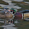 Wood Ducks, drake & hen