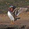 Mandarin Duck, drake