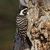 Nuttall's Woodpecker, female