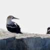 MASKED BOOBY<br /> sub-adult