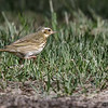 OLIVE-BACKED PIPIT