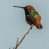 MALE SELASPHORUS HUMMINGBIRD