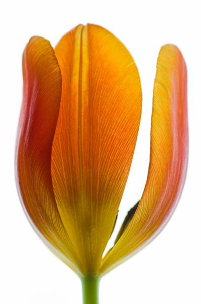 Orange Tulip 5