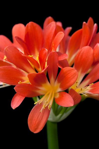 Kaffir Lily 2
