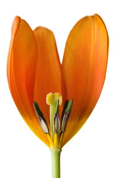 Orange Tulip 3