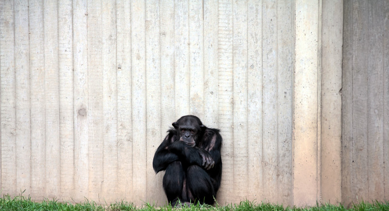 Chimp Of The Wall