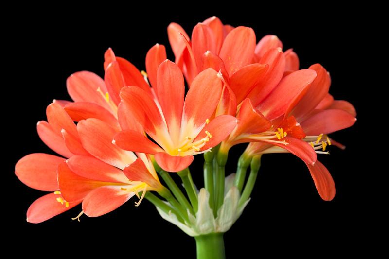 Kaffir Lily 3