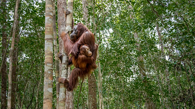 Orangutan mother with baby.