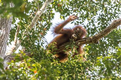 Adolescent Orangutan