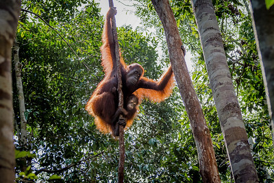 Mother and child Orangutans climbing down