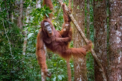 Mother and child Orangutans climbing down.