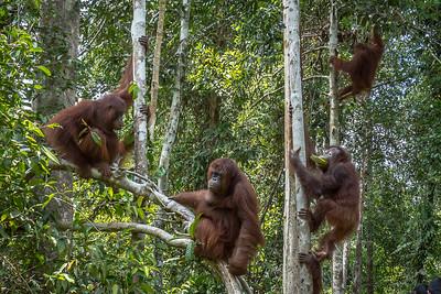 Orphan Orangutans
