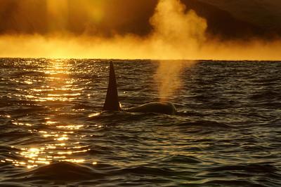 Orca in ice fog