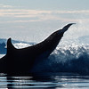 Orca re-entering the water after breaching, Hanson Island, British Columbia