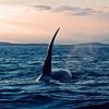 Orca, Hanson Island, British Columbia