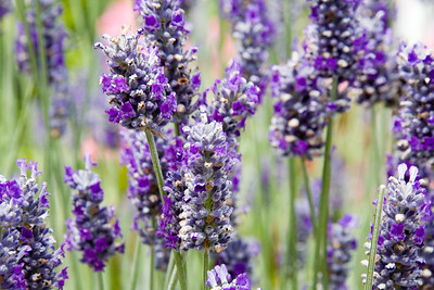 lavendar_web