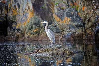 A blue heron enjoys morning light near the Eastsound community dock.