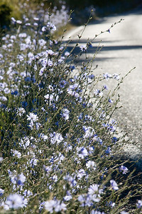 Chickory and other wild flowers adorn the quiet roads of Orcas.