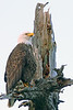 eagle_tree_001_12_by_18