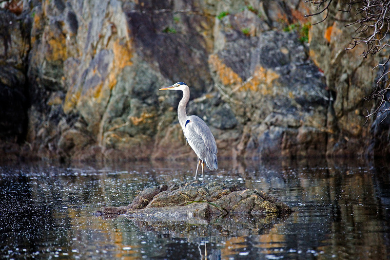 Heron_japan_water_16x24_MG_9784