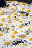 daisy_002_6x9_MG_1646