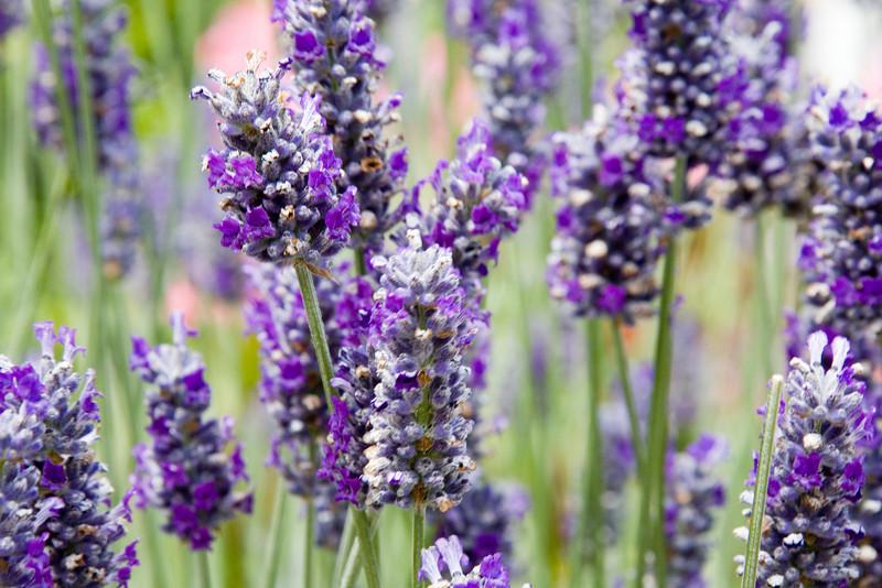 lavendar_001_MG_1663