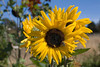 sunflower_2006_02_12_8